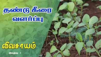 Photo of How to grow Thandu Keerai (aka) Mulai Keerai – Vivasayam #1