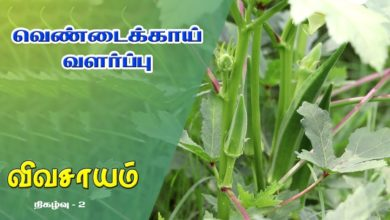 Photo of How to grow Lady's Finger and get benefitted from it – Vivasayam #2