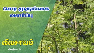 Photo of How to grow Drumstick Plant and get benefitted from it – Vivasayam #6