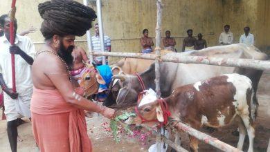 Photo of Cow Pooja held on Monthly Guru Pooja of Dharmapuram Adheenam 26th Gurumanigal -30.04.2020